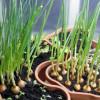 Как вырастить лук на подоконнике и что для этого нужно