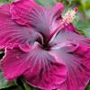 Комнатный гибискус (китайская роза): уход в домашних условиях, виды и размножение