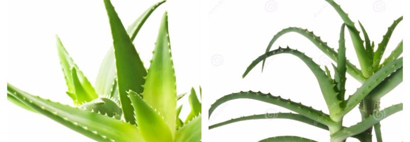 Алоэ (Столетник), уход в домашних условиях: виды, полив, пересадка, размножение и другие нюансы