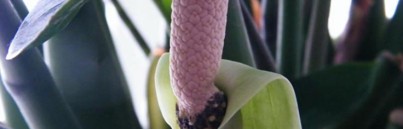 Уход за замиокулькасом в домашних условиях (долларовое дерево, цветок безбрачия)