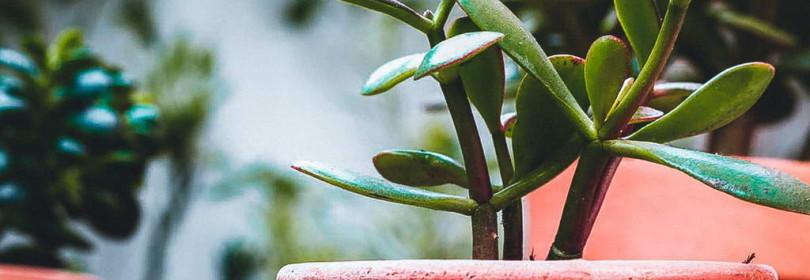 Уход за денежным деревом (толстянкой) в домашних условия
